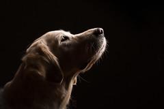 Kiara 12th Birthday Anniversary Album! (Alicja Zmysłowska) Tags: dog dogs golden retriever goldenretriever pet photographer
