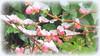 "* ""cared""  blossoms by snow * (argia world 1) Tags: pescoornamentale giardino ornamentalpeachtree garden fioritura blossoms neve snow rami branche gemme buds foglie leaves ghiaccio ice"