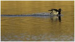 ring-necked duck (Christian Hunold) Tags: ringneckedduck divingduck duck ringschnabelente johnheinznwr philadelphia christianhunold halsringente