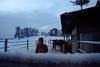 Schnee und Eis (Demarmels) Tags: pferde pferdegeschichten islandpferd stall winter reiten horse icelandichorse stable ride dunkel dark snow schnee ice eis