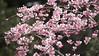 _3240026 (rio_tc) Tags: olympus em1 mk2 em1mk2 40150mm f28 pro saitama japan cherryblossom 桜