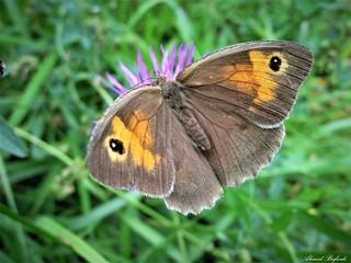 Butterfly 1630