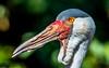 Vogelportrait (rwfoto2013) Tags: storch painted stork buntstoch buntstorch schnabel vogel