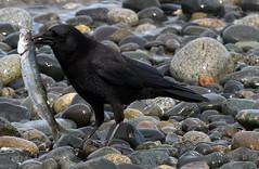 Beachcomber (Snixy_85) Tags: qualicumbeach herring crow herringrun fish scavenger