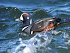 Rough Waters (laurie.mccarty) Tags: bird animal harlequinduck nature nikon wildlife water seaduck duck birding birdwatcher