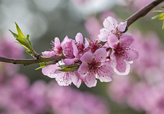 Nevena Uzurov - Gently spring (Nevena Uzurov) Tags: april spring tennderness pink love peach peachblossoms light bokeh nevenauzurov serbia nature floral