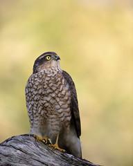Sparrowhawk (f) (peterspencer49) Tags: peterspencer peterspencer49 sparrowhawk bird birdofprey hawk raptor