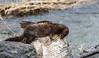 Vison/Mink -11984 (michel paquin2011) Tags: rouge vison mammifère parc rapides lasalle