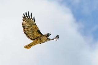 Hawk in Flight #111