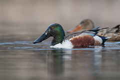 Northern Shoveler (Male) (Jesse_in_CT) Tags: northernshoveler duck nikon200500mm