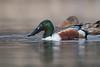 Northern Shoveler (Male) (Jesse_in_CT) Tags: northernshoveler duck nikon200500mm