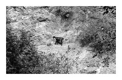 * (Daniel Espinoza) Tags: bw fomar100 whatwillremain film nikonf100 onlyfilm filmphotography analogica analogphotography conceptual diapositive greece cabra goat 35mmfilm diapositiva transparency