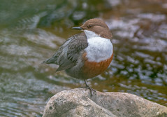 DSC5945  Dipper.. (jefflack Wildlife&Nature) Tags: dipper dippers birds avian animal animals wildlife wildbirds waterbirds riverbirds rivers streams countryside nature