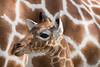 Netgiraffe_Jong_03 (Nick Dijkstra) Tags: artis giraffacamelopardalisreticulata netgiraffe reticulatedgiraffe somalischegiraffe jong