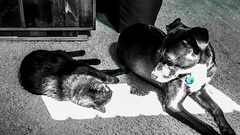 """The piano keys are black and white / but they sound like a million colors in your mind"" ―Maria Cristina Mena 🐈 ☀️ 🐕 (anokarina) Tags: ☀️ 🐕 🐈 psmobile colorsplash adobephotoshopexpress appleiphonese highlands louisville kentucky ky cat kitty kitten blackcat dog puppy blackdog blue aquamarine sunlight animals pets"