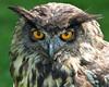 European Eagle Owl (Buggers1962) Tags: owl europeaneagleowl birdofprey animal bird birdsofprey canon canon7d close closeup eagleowl face feathers highqualityanimals itsazoooutthere nature owlpicture wildlife zoo thewonderfulworldofbirds outdoor