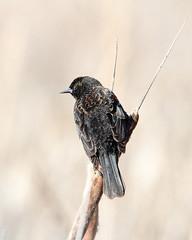 Red-winged Blackbird (jlcummins - Washington State) Tags: redwingedblackbird washingtonstate westrichland franklincounty bird