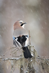 Jay (Daniel Trim) Tags: eurasian jay garrulus glandarius corvid bird birds birding sweden kalvträsk skellefteå skellftea conny lundstrom lundström hides photography nature animals northern winter snow snowy