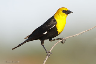 Yellow-headed Blackbird ♂