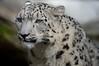 Uncia uncia (Snow Leopard) (birdgal5) Tags: california sacramentocounty sacramento 3930westlandparkdrive sacramentozoo mammalia felidae snowleopard uncia unciauncia nikon d4 nikond4 80400mmf4556gafsedvr