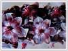 Free-flowering Vincetoxicum nigrum (jayjayc) Tags: flickr18 jaycjayc malaysia kualalumpur vincetoxicumnigrum vines purle black
