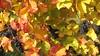 IMG_5206 Spazieren nach Sooß mit Oma+Opa, 11.10.2008 (MQ73) Tags: spazieren herbst 2008 oktober weingarten wein weinreben wine vineyard weintrauben grapes blätter laub baden badenbeiwien badennearvienna 11102008