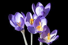 yellow'n'blue (the-father) Tags: crocus blue black spring
