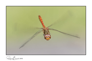 Not long to wait till Spring! - Common Darter Dragonfly face on in flight