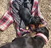 Dog Kisses (Mulewings~) Tags: charlie dixie dogsiknow dogs blackandtan blackandtanhound pekenhund mixedpuppy puppy
