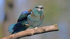 Blauracke (karinrogmann) Tags: blauracke europeanroller ghiandaiamarina kölnerzoo 11