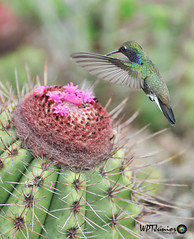Beija-flor-de-peito-azul (amazilia lactea)_0632 FF (Wptjunior) Tags: photograph photo fotografia foto nikon birdingwatching bird aves brasil bahia beijaflor