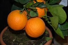 Citrus sinensis (douneika) Tags: citrus sinensis taxonomy:family=rutaceae taxonomy:binomial=citrussinensis rutaceae