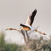Flamingo in Flight (FletchImages) Tags: flamingo bird birding flight nature wildlife dubai
