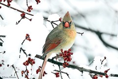 Female Northern Cardinal (Anne Ahearne) Tags: cardinal wild bird animal snow winter maple tree buds beautiful northerncardinal female nature wildlife