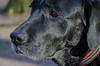 Elevn year old Labrador (frankmh) Tags: closeup portrait animal dog labrador pålsjö helsingborg skåne sweden