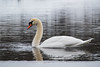 Swan portrait (steffos1986) Tags: bird animal wild closeup nikond5500 nature tamron18250 ice swan water pond spring refelction expression explore