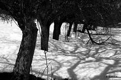Pommiers (B.RANZA) Tags: pommier arbre neige hiver noiretblanc nature monochrome montagne paysage hautesalpes valléedechampoléon