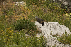 "Yellow-bellied Marmot • <a style=""font-size:0.8em;"" href=""http://www.flickr.com/photos/63501323@N07/39487361940/"" target=""_blank"">View on Flickr</a>"
