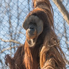 Person of the forest (sniggie) Tags: borneo kentucky louisville louisvillezoo orangutan captivity zoo zoologicalgarden