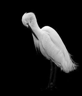 Egret mono