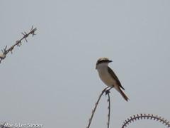 israel-lifers-48 (lensander2015) Tags: birds shrikes
