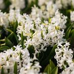 White Hyacinths thumbnail