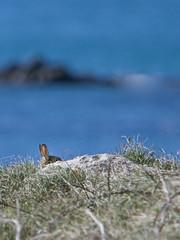 Je te vois ! (jf.cudennec) Tags: nature animal lapin rabbit beniguet island molene archipelago water ocean iroise canon tamron 150600 70d seaside winter