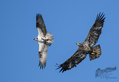 Osprey and Sub Adult Eagle Chase 4_23 (krisinct- Thanks for 15 Million views!) Tags: nikon d500 500 f4 vrg