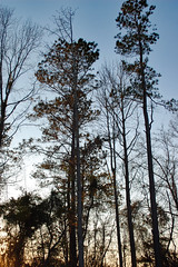 Wooded Backyard. (dccradio) Tags: lumberton nc northcarolina robesoncounty outdoors outside nature natural eveninglateafternoon sky bluesky eveningsky dusk wooded woods forest backyard tree trees treebranches treelimbs branch sticks