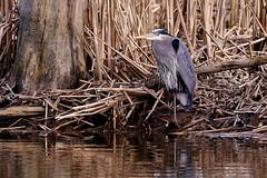 Great Blue at Wylie reserve, Skagit County (ferglandfoto) Tags: d8x4974 greatblueheron heron wylienaturereserve ardeaherodias