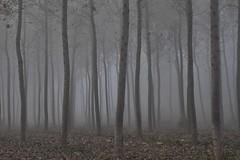 tra i pioppi (mat56.) Tags: paesaggi paesaggio landscapes landscape lombardia lodi lodigiano sennalodigiana pianura padana nebbia fog misty pioppi poplars alberi trees atmosphere atmosfera cortesantandrea antonio romei mat56