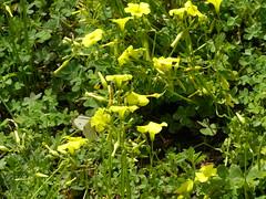 Ψίνθος (Psinthos.Net) Tags: ψίνθοσ φύση εξοχή άνοιξη spring nature countryside psinthos march μάρτησ μάρτιοσ πρωί πρωίάνοιξησ ανοιξιάτικοπρωί morning fasouli fasuli φασούλι φασούλιψίνθου φασούλιψίνθοσ fasoulipsinthos fasoulipsinthou pollen γύρη χόρτα greens κίτριναλουλούδια άγριαλουλούδια αγριολούλουδα wildflowers flowers yellowflowers λουλούδια οξαλίδεσ sorrels ξυνιέσ ξινιέσ ξυνάκια ξινάκια ηλιόλουστημέρα μέρα day sunnyday light φώσ sunlight φώσήλιου φώσηλίου σκιά shadow