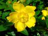 Millepertuis (jean-daniel david) Tags: fleur jaune vert bokeh feuille millepertuis macro closeup nature buisson