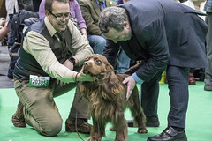 GAZ_1229 (garethdelhoy) Tags: dog sussex spaniel crufts 2018 kennel club